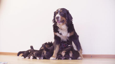 Bernese sheepdogs mother bitch feeding puppies Live Action