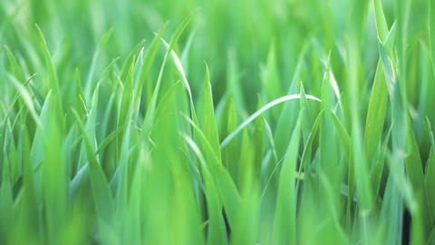 Low angle view, closeup, dolly shot of green wheat grass . Spring and ecology or Footage