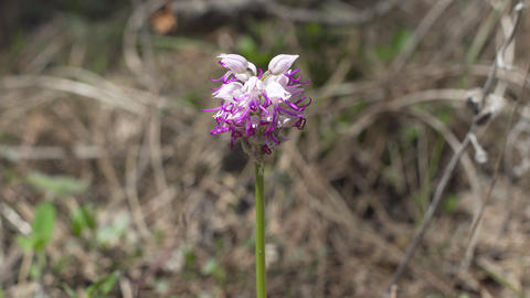 Wild Nature Orchis Italica Flower In The Forest Footage