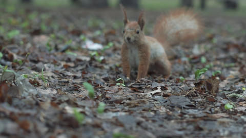 Squirrel run in slow motion close to camera and looks on it extremely close up Live Action