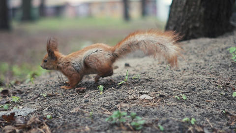 Alone red squirrel run on the ground in slow motion Footage