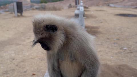 Langur monkeys live near people Footage