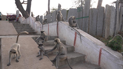 Langur monkeys live near people Archivo