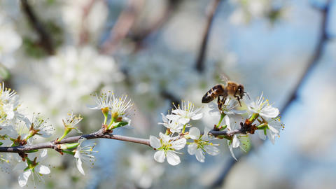 Honey bee collecting pollen from flowers. Spring nature Footage