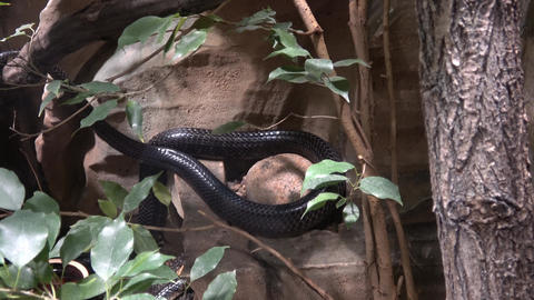 Black Mamba (Dendroaspis polylepis) is extremely venomous snake Footage