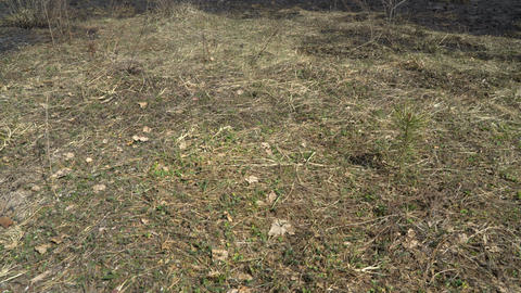 Burned forest and field after wildfire, black ground, ashes, smoke, dangerous Live Action