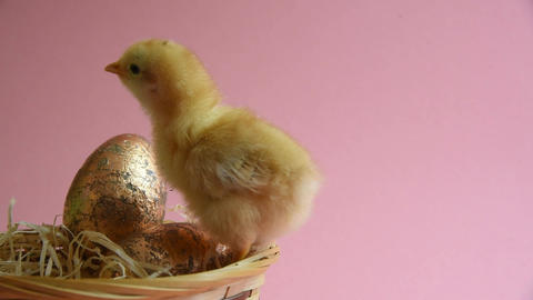 Yellow chick in eggcup with easter nest and easter eggs Live Action