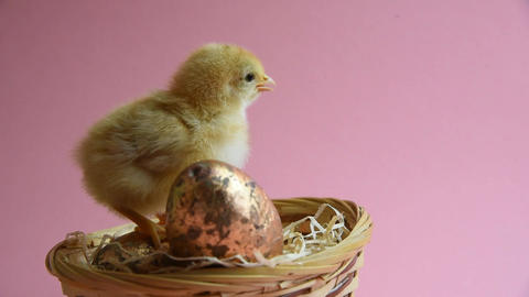 Yellow chick in eggcup with easter nest and easter eggs Footage