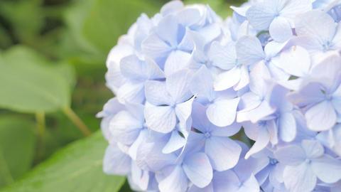 4K_UHD/HD紫陽花Hydrangea Filmmaterial