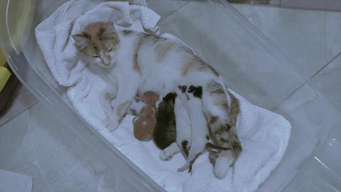 Kittens and mother, cat family. Suckling new born cats. Feline, little furry pets Live Action
