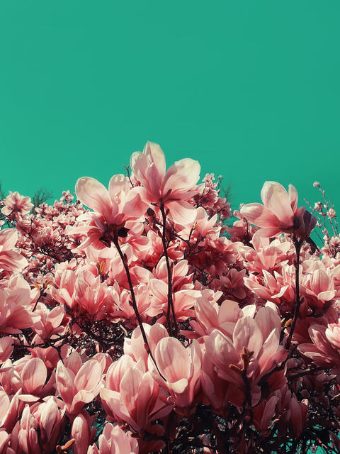 Coral pink odd magnolia tree flowers. Trendy floral pattern over bizarre colored sky. Spring blossom Fotografía