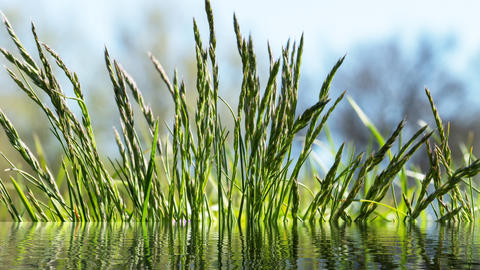 Flowering grass in detaily Photo
