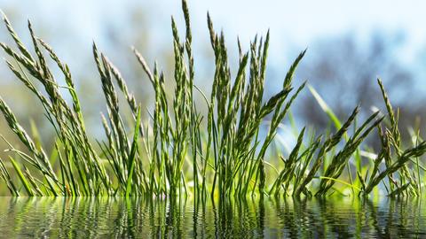 Flowering grass in detaily Fotografía