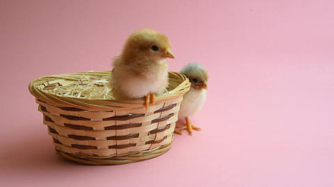 2 easter chicks in easter nest with pink background Live Action