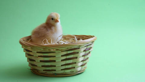 yellow easter chicken in easter nest with green background Live Action