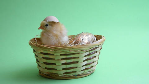 yellow easter chicken in easter nest with green background Footage