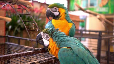 Large Parrots Footage