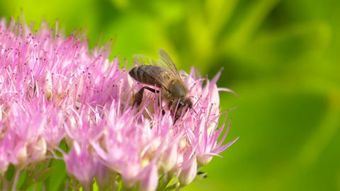 Bee collects nectar on pink flower. Slow motion Footage