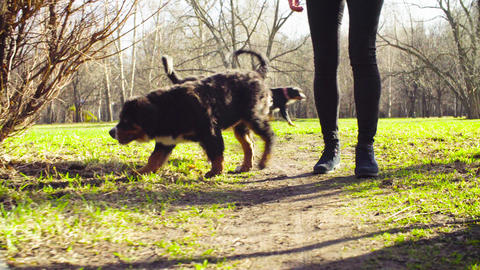 Woman walking with bernese shepherd dog puppies Live Action