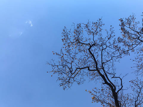 beautiful structure of dried big tree with bright blue summer sky in Japan Fotografía