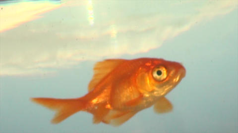 Goldfish in aquarium. Bowl with water, red, orange colored pet, fish is swimming Animation
