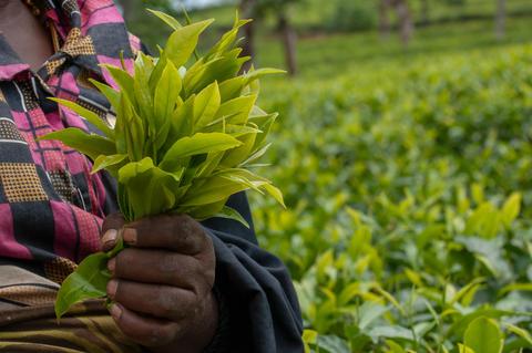 Tea picker with fresh tea leaves Photo