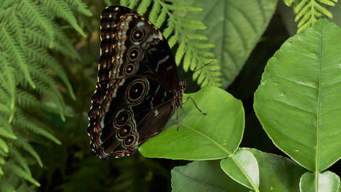 Close up of tropical butterfly opening his blue wings Footage