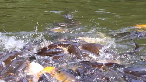 エサを食べる鯉 ライブ動画