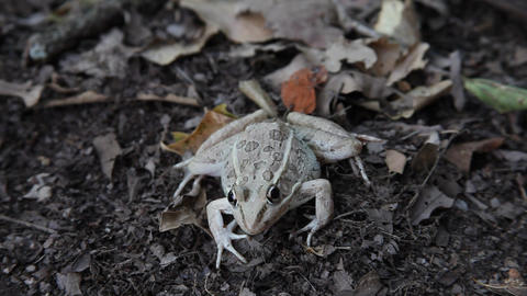 Leopard Frog on the ground ビデオ