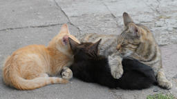 Mother cat is feeding two young kittens Live Action