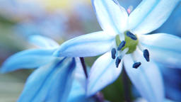 Blue Scilla flowers in garden. First spring flowers swing... Stock Video Footage