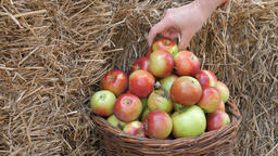 Autumnal harvest of apples. Apples in a wicker basket Footage