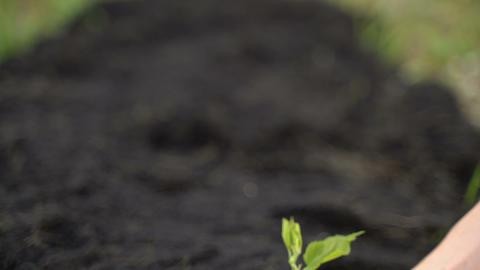 [alt video] Hand of gardener holding a seedling plant and soil