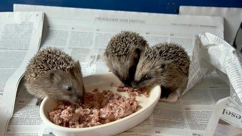 Cute hand breeded hedgehog babies eating together Footage