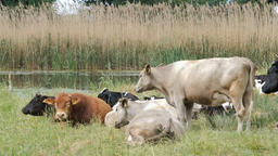 Herd of cows lying down on a pasture near the river Archivo