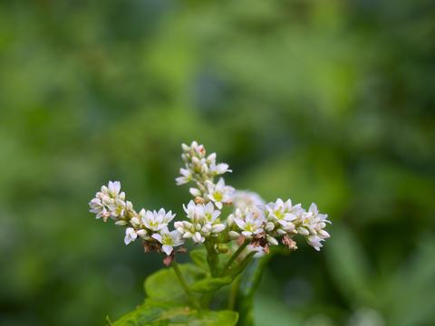 Buckwheat flower Photo