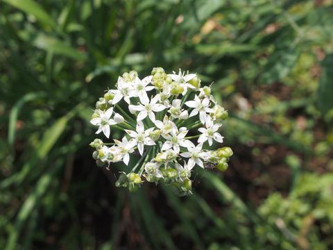Flower of allium tuberosum Photo