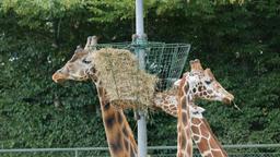 Giraffes are eating hay. Giraffa camelopardalis rothschildi Footage