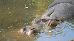 Hippopotamus emerging from water to take a breath. Hippopotamus amphibius. Hippo Footage