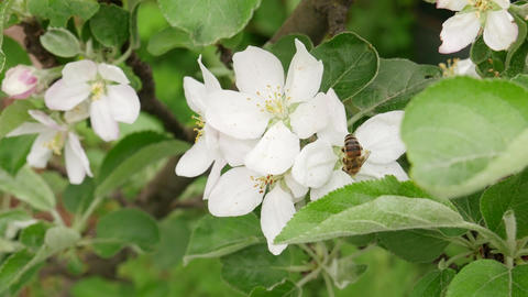 Honey Bee Pollinating Apple Blossoms Footage