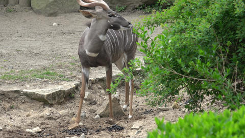 Big male kudu antelope (Tragelaphus strepsiceros) Footage