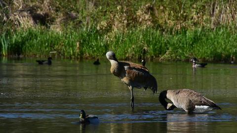 A Sandhill crane and A Canada goose are grooming Acción en vivo