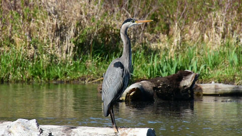 A Great blue heron is standing on the drift wood Archivo