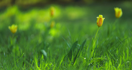 Timelapse of yellow tulips blooming in meadow Footage