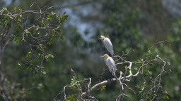 Cattle Egrets on Tree in Lake