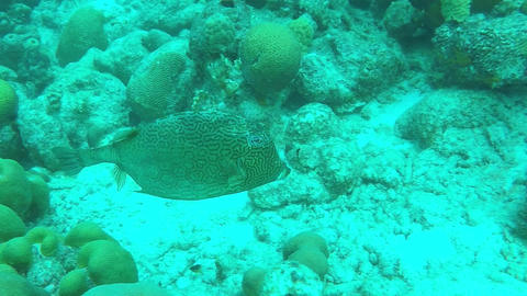 Honeycomb Cowfish on a coral reef Footage