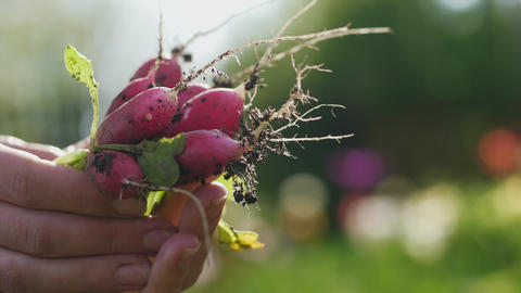 Fresh radish in the woman's hands Stock Video Footage