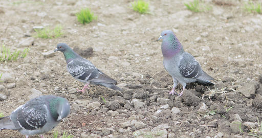 Pigeons on the wet ground Footage