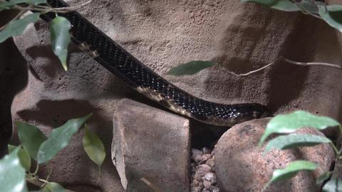 Forest cobra (Naja melanoleuca) on a branch. Dangerous animal Live Action