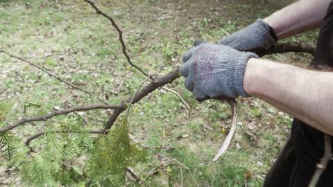 [alt video] Worker's hands break tree branch